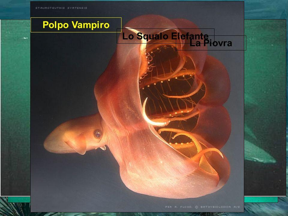 In mare sono presenti molti organismi marini che non avremo mai potuto conoscere (se non in TV o nei documentari) perché difficili da raggiungere Polpo Vampiro La Piovra Lo Squalo Elefante