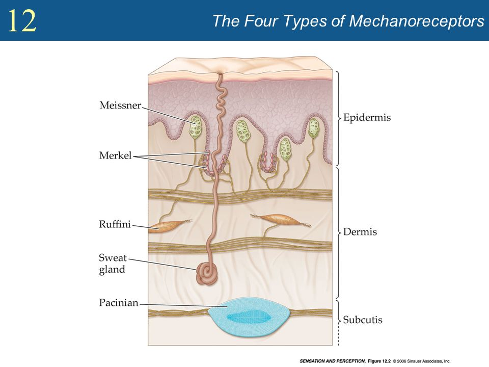 12 The Four Types of Mechanoreceptors
