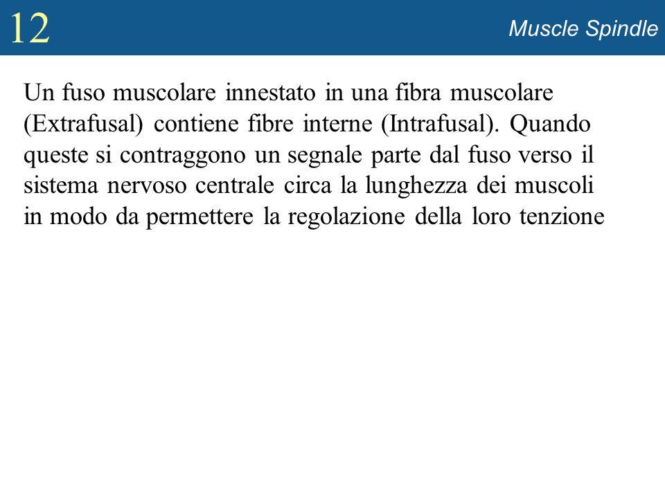 12 Muscle Spindle Un fuso muscolare innestato in una fibra muscolare (Extrafusal) contiene fibre interne (Intrafusal). Quando queste si contraggono un