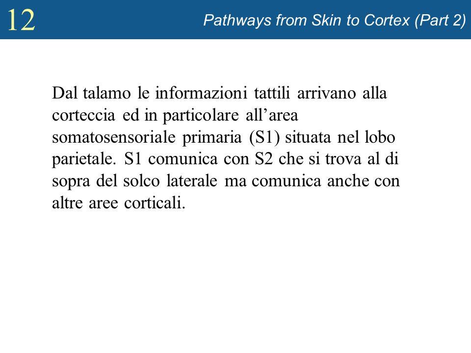 12 Pathways from Skin to Cortex (Part 2) Dal talamo le informazioni tattili arrivano alla corteccia ed in particolare allarea somatosensoriale primari