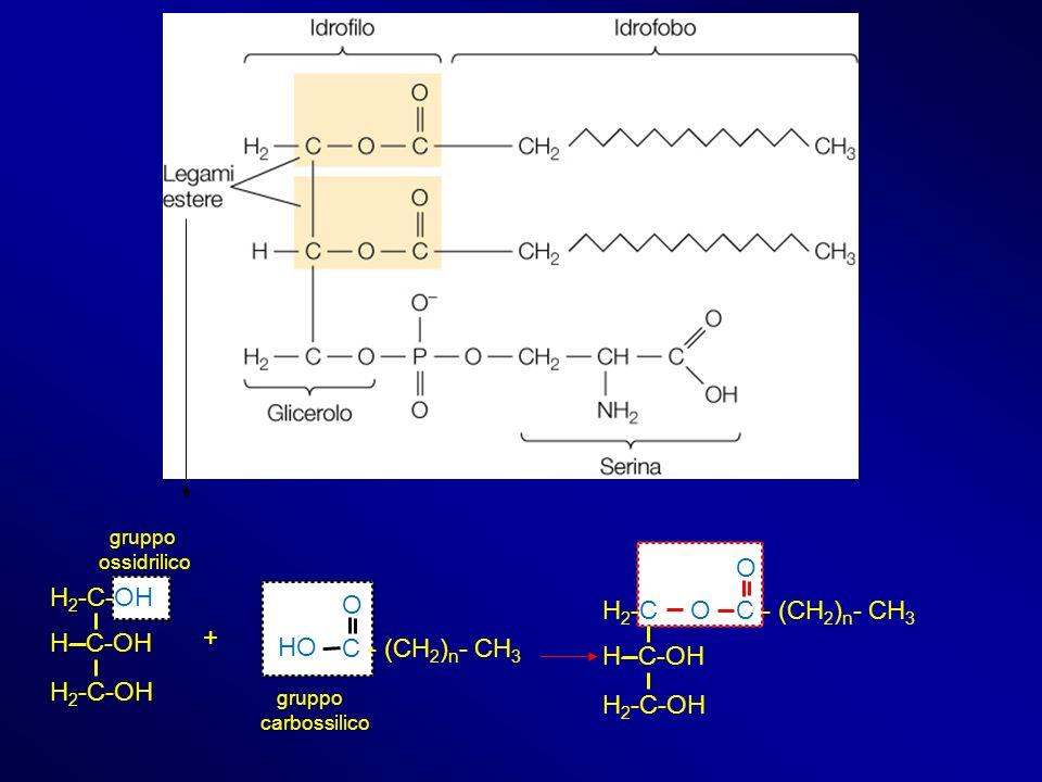 gruppo carbossilico gruppo ossidrilico H 2 -C-OH H--C-OH H 2 -C-OH C - (CH 2 ) n - CH 3 O HO + H2-CH2-C H--C-OH H 2 -C-OH C - (CH 2 ) n - CH 3 O O