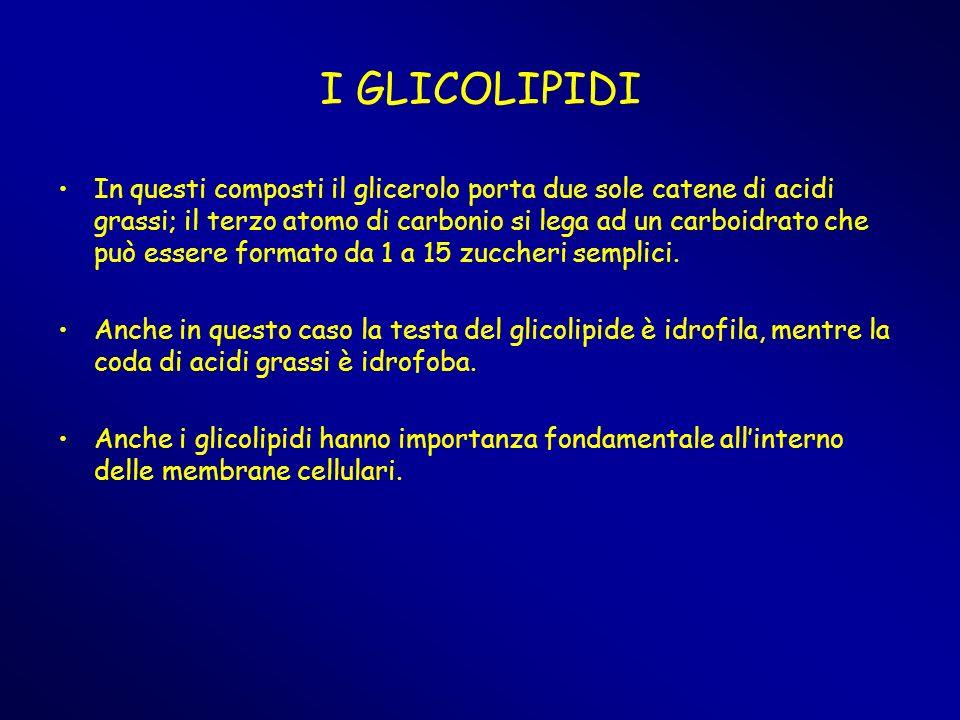 I GLICOLIPIDI In questi composti il glicerolo porta due sole catene di acidi grassi; il terzo atomo di carbonio si lega ad un carboidrato che può esse