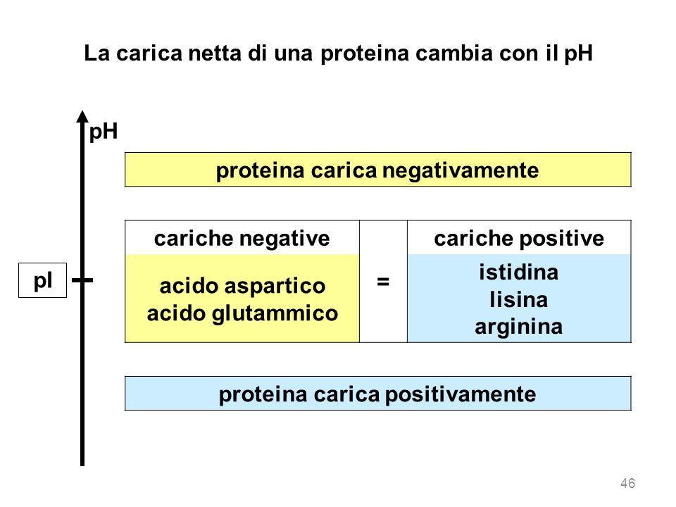 proteina carica negativamente cariche negative = cariche positive acido aspartico acido glutammico istidina lisina arginina proteina carica positivame