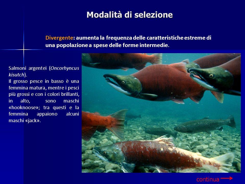 Salmoni argentei (Oncorhyncus kisutch). Il grosso pesce in basso è una femmina matura, mentre i pesci più grossi e con i colori brillanti, in alto, so