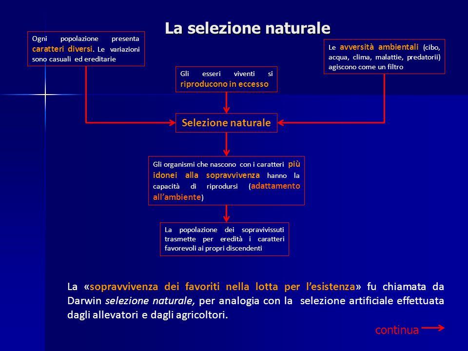 La selezione naturale La «sopravvivenza dei favoriti nella lotta per lesistenza» fu chiamata da Darwin selezione naturale, per analogia con la selezio