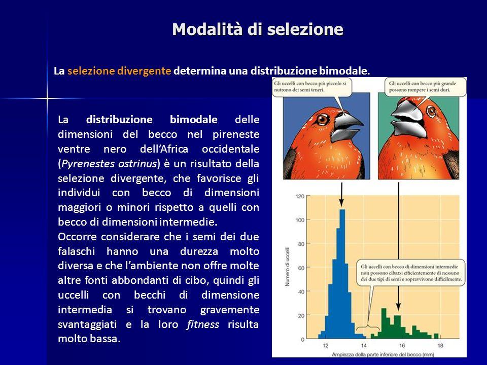 La distribuzione bimodale delle dimensioni del becco nel pireneste ventre nero dellAfrica occidentale (Pyrenestes ostrinus) è un risultato della selez