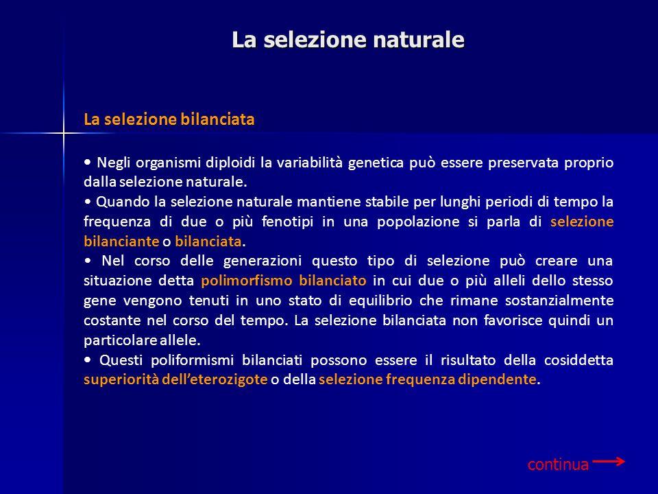 La selezione bilanciata Negli organismi diploidi la variabilità genetica può essere preservata proprio dalla selezione naturale. Quando la selezione n