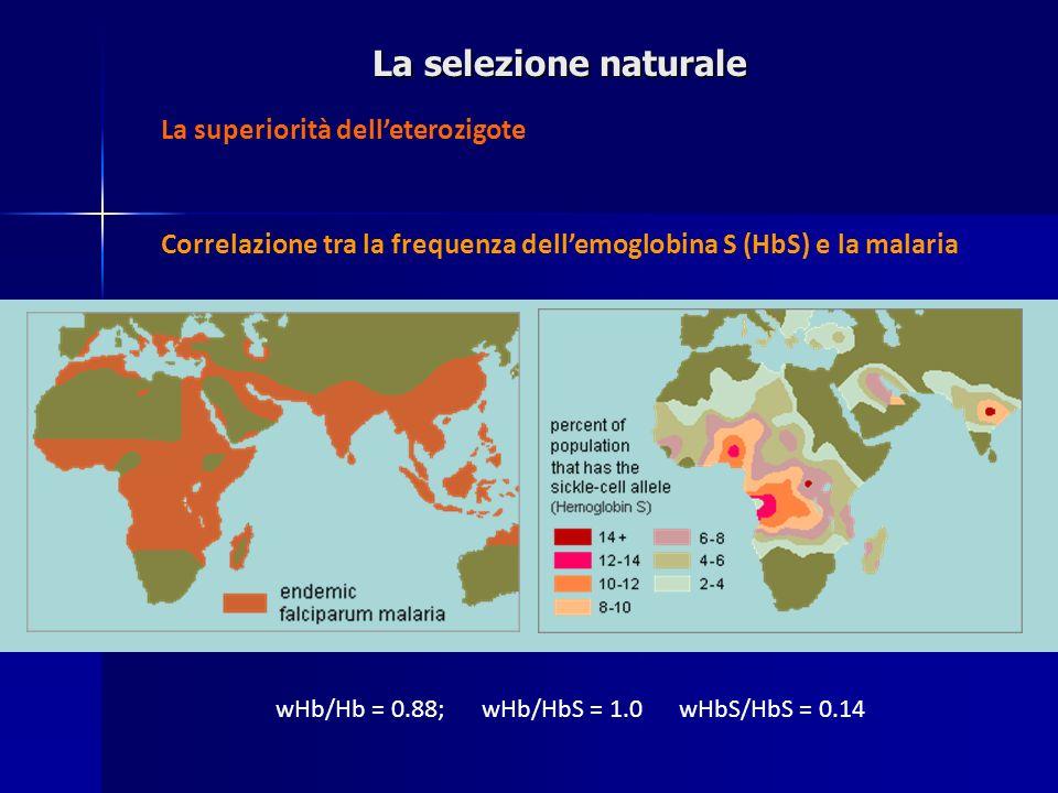 La selezione naturale Correlazione tra la frequenza dellemoglobina S (HbS) e la malaria La superiorità delleterozigote wHb/Hb = 0.88; wHb/HbS = 1.0 wH