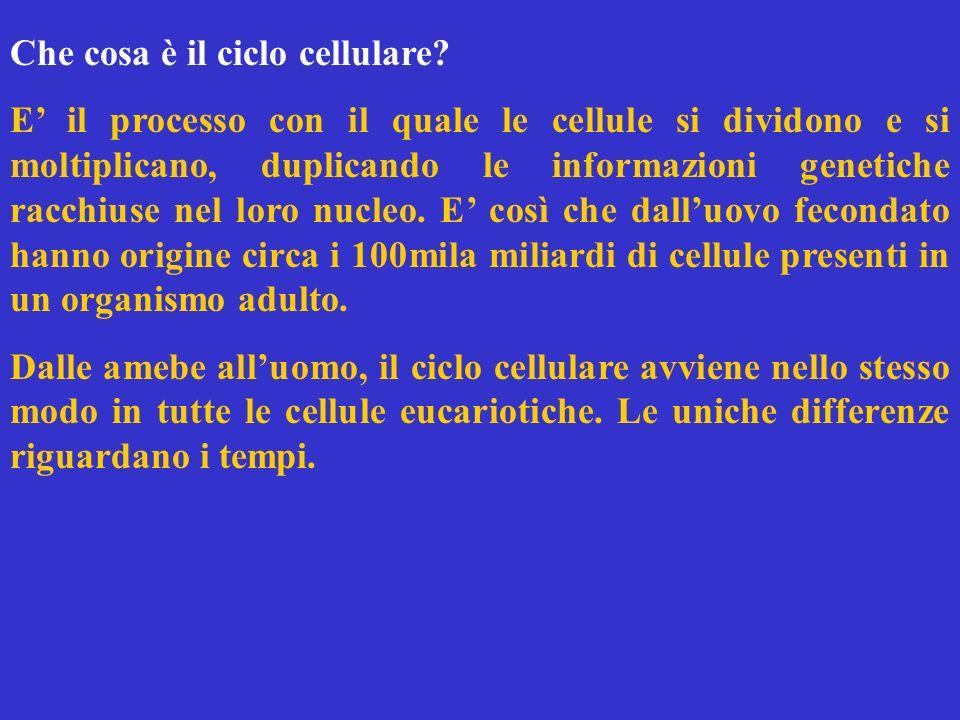 Che cosa è il ciclo cellulare? E il processo con il quale le cellule si dividono e si moltiplicano, duplicando le informazioni genetiche racchiuse nel
