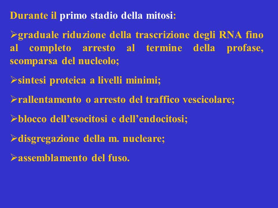 Durante il primo stadio della mitosi: graduale riduzione della trascrizione degli RNA fino al completo arresto al termine della profase, scomparsa del