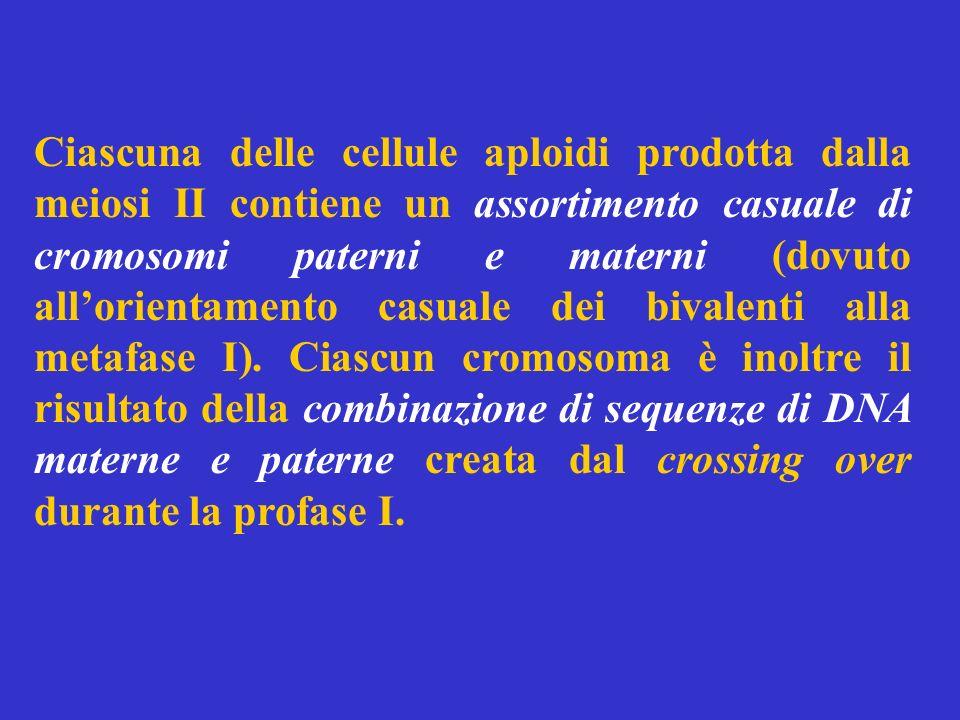 Ciascuna delle cellule aploidi prodotta dalla meiosi II contiene un assortimento casuale di cromosomi paterni e materni (dovuto allorientamento casual