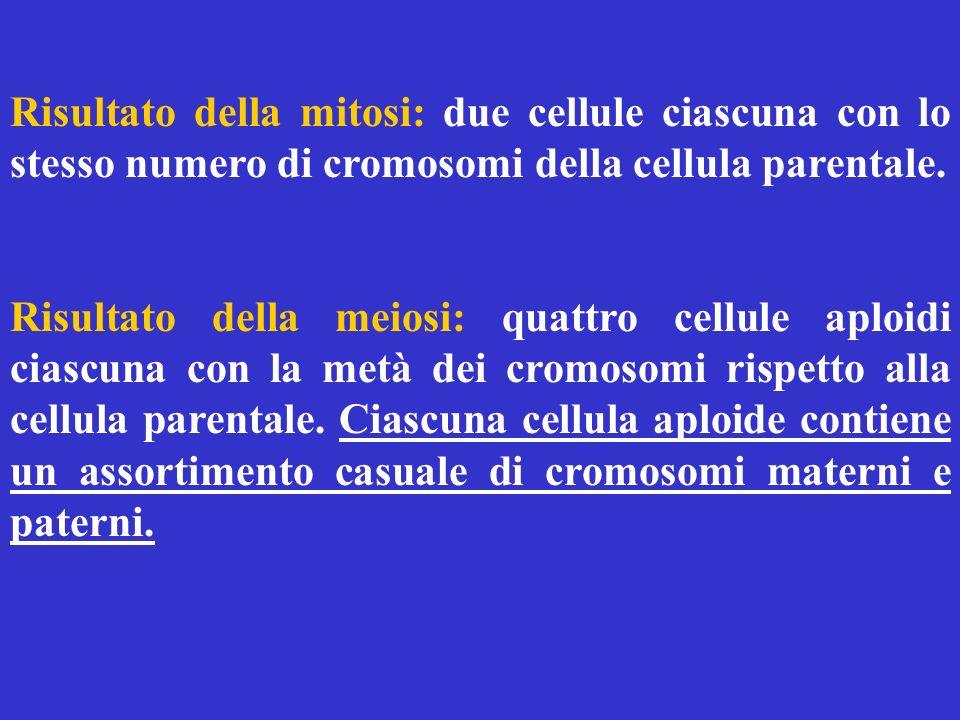 Risultato della mitosi: due cellule ciascuna con lo stesso numero di cromosomi della cellula parentale. Risultato della meiosi: quattro cellule aploid