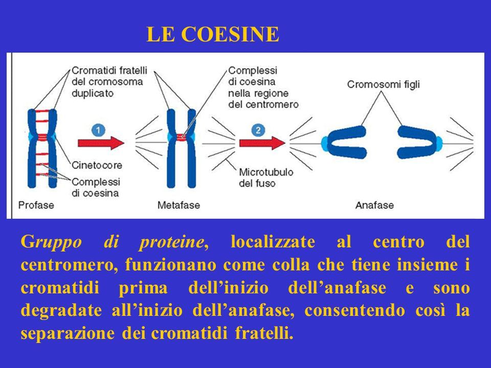 LE COESINE Gruppo di proteine, localizzate al centro del centromero, funzionano come colla che tiene insieme i cromatidi prima dellinizio dellanafase