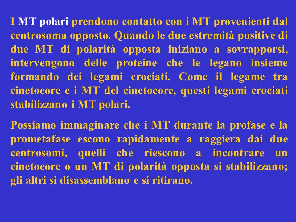 I MT polari prendono contatto con i MT provenienti dal centrosoma opposto. Quando le due estremità positive di due MT di polarità opposta iniziano a s