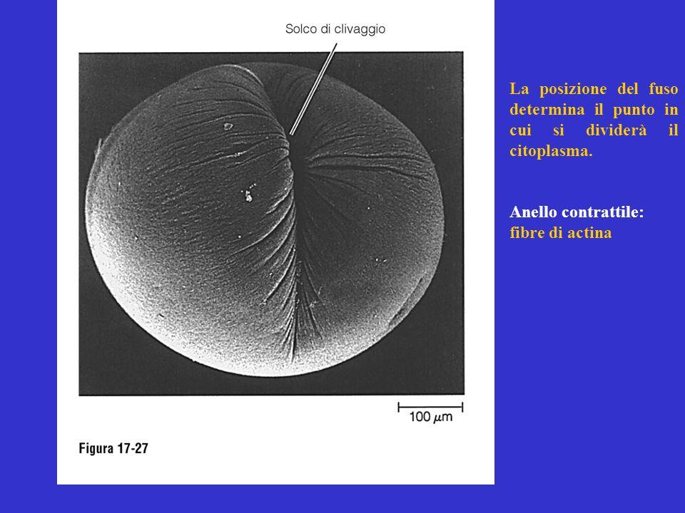 La posizione del fuso determina il punto in cui si dividerà il citoplasma. Anello contrattile: fibre di actina