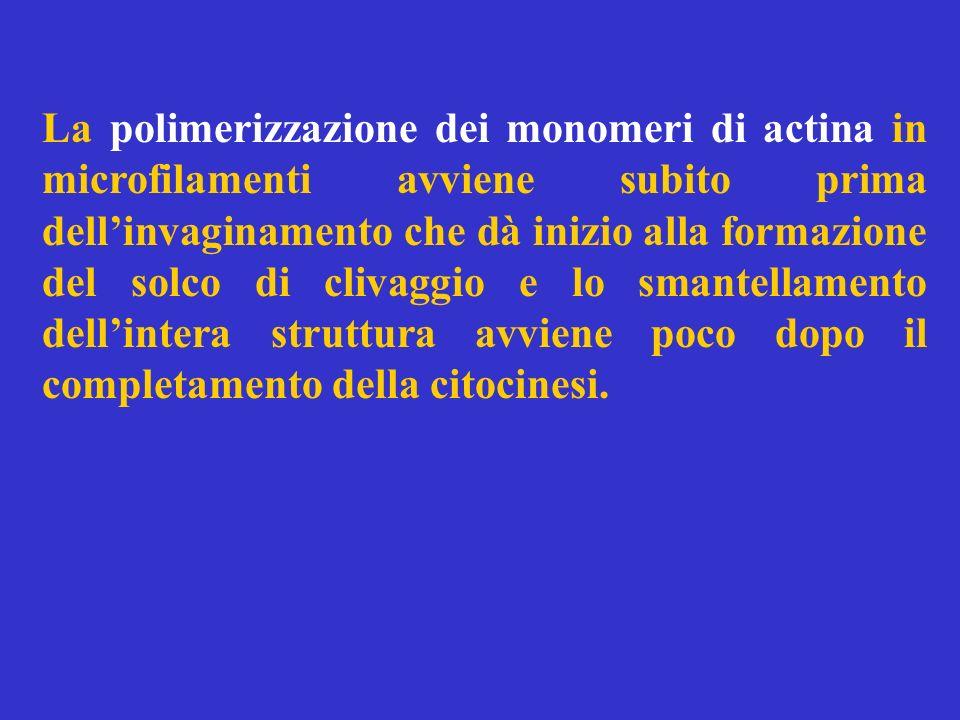 La polimerizzazione dei monomeri di actina in microfilamenti avviene subito prima dellinvaginamento che dà inizio alla formazione del solco di clivagg
