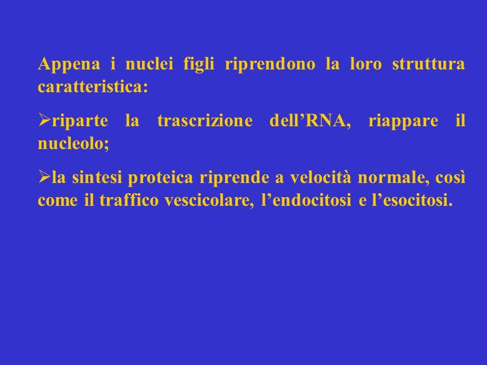 Appena i nuclei figli riprendono la loro struttura caratteristica: riparte la trascrizione dellRNA, riappare il nucleolo; la sintesi proteica riprende