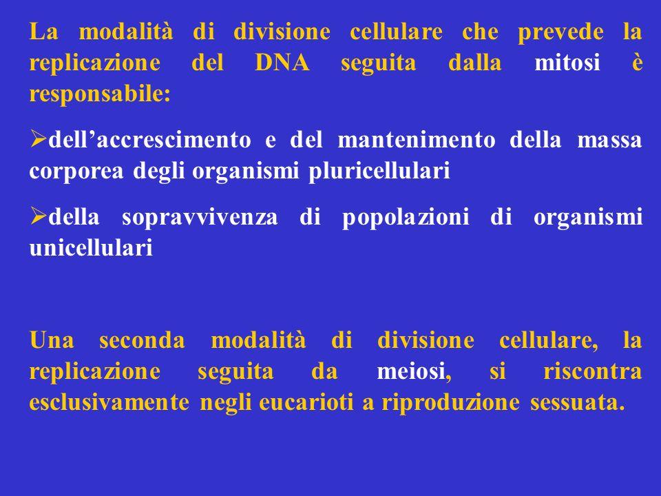 La divisione cellulare per mitosi ha luogo mediante una successione continua di stadi che nel complesso vengono chiamati ciclo cellulare.