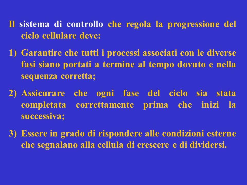 Il sistema di controllo che regola la progressione del ciclo cellulare deve: 1)Garantire che tutti i processi associati con le diverse fasi siano port