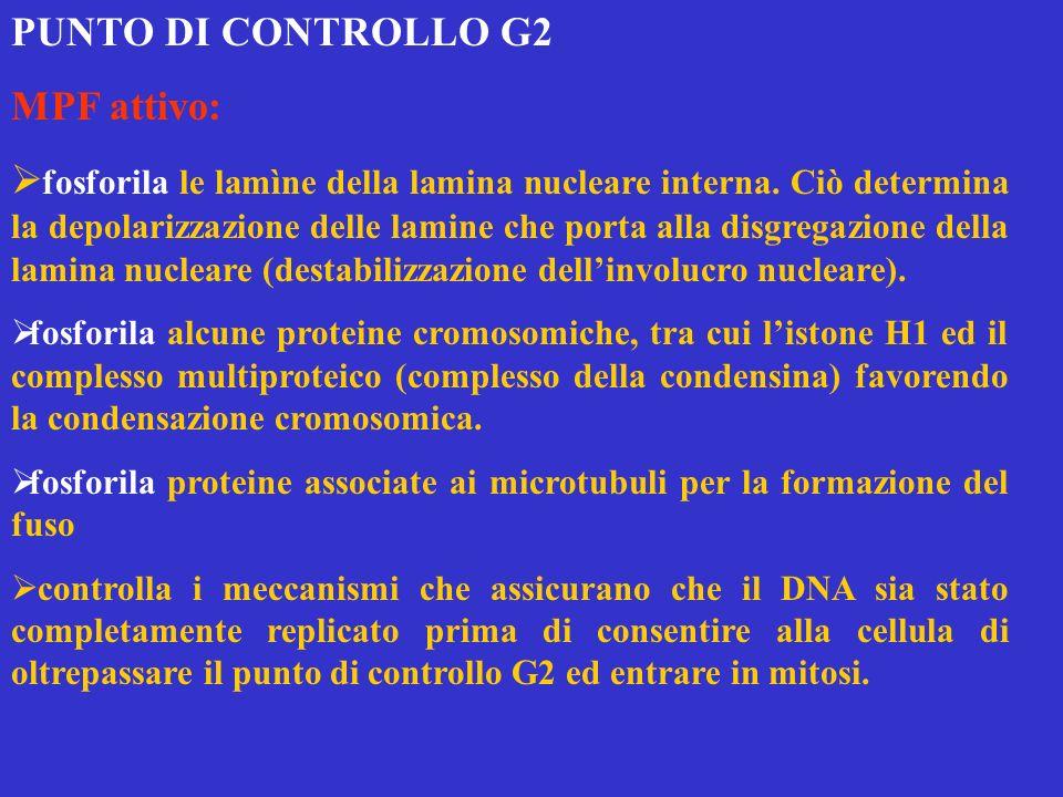 PUNTO DI CONTROLLO G2 MPF attivo: fosforila le lamìne della lamina nucleare interna. Ciò determina la depolarizzazione delle lamine che porta alla dis