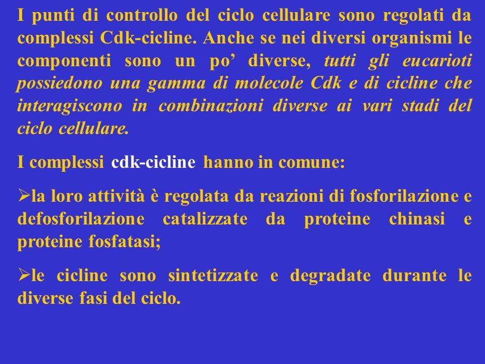 I punti di controllo del ciclo cellulare sono regolati da complessi Cdk-cicline. Anche se nei diversi organismi le componenti sono un po diverse, tutt