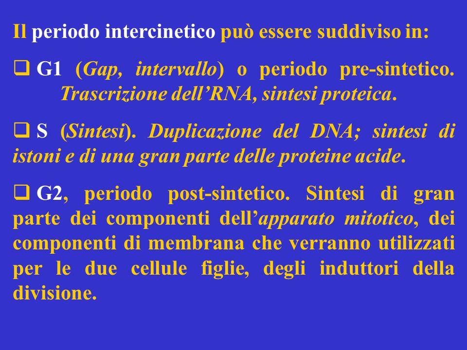 Il periodo intercinetico può essere suddiviso in: G1 (Gap, intervallo) o periodo pre-sintetico. Trascrizione dellRNA, sintesi proteica. S (Sintesi). D
