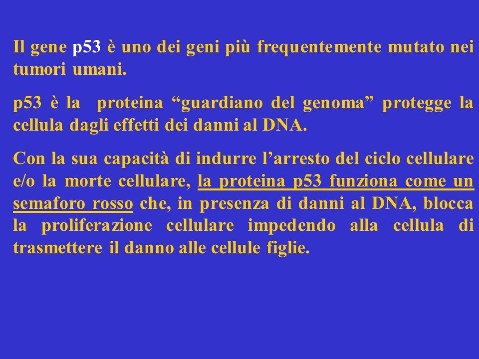 Il gene p53 è uno dei geni più frequentemente mutato nei tumori umani. p53 è la proteina guardiano del genoma protegge la cellula dagli effetti dei da
