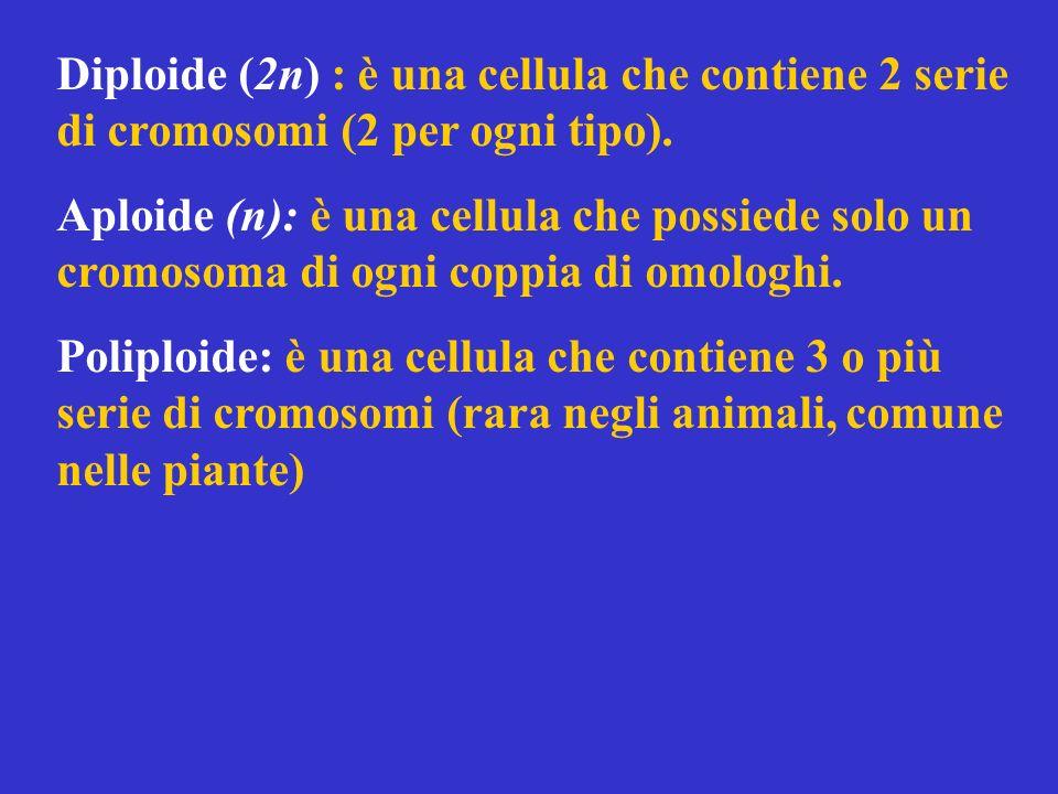 Diploide (2n) : è una cellula che contiene 2 serie di cromosomi (2 per ogni tipo). Aploide (n): è una cellula che possiede solo un cromosoma di ogni c