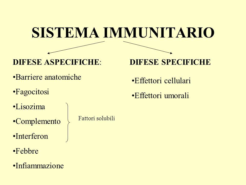 4.Linfocita T helper attiva (interleuchine) linfociti T citotossici 5.