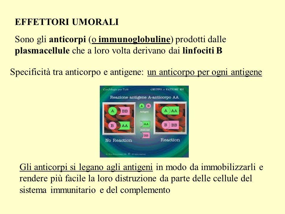 EFFETTORI UMORALI Sono gli anticorpi (o immunoglobuline) prodotti dalle plasmacellule che a loro volta derivano dai linfociti B Specificità tra antico