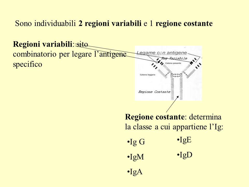 Sono individuabili 2 regioni variabili e 1 regione costante Regioni variabili: sito combinatorio per legare lantigene specifico Regione costante: determina la classe a cui appartiene lIg: Ig G IgM IgA IgE IgD
