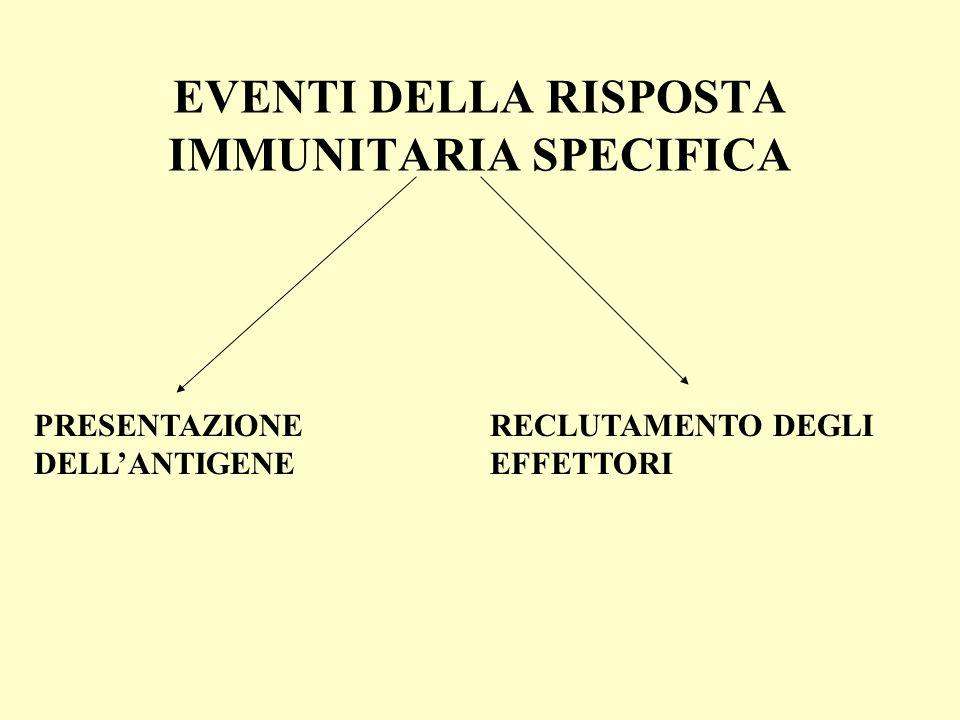 EVENTI DELLA RISPOSTA IMMUNITARIA SPECIFICA PRESENTAZIONE DELLANTIGENE RECLUTAMENTO DEGLI EFFETTORI