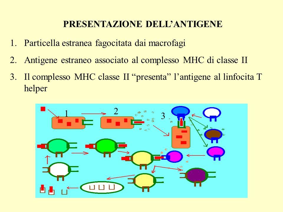 PRESENTAZIONE DELLANTIGENE 1.Particella estranea fagocitata dai macrofagi 2.Antigene estraneo associato al complesso MHC di classe II 3.Il complesso MHC classe II presenta lantigene al linfocita T helper 1 2 3