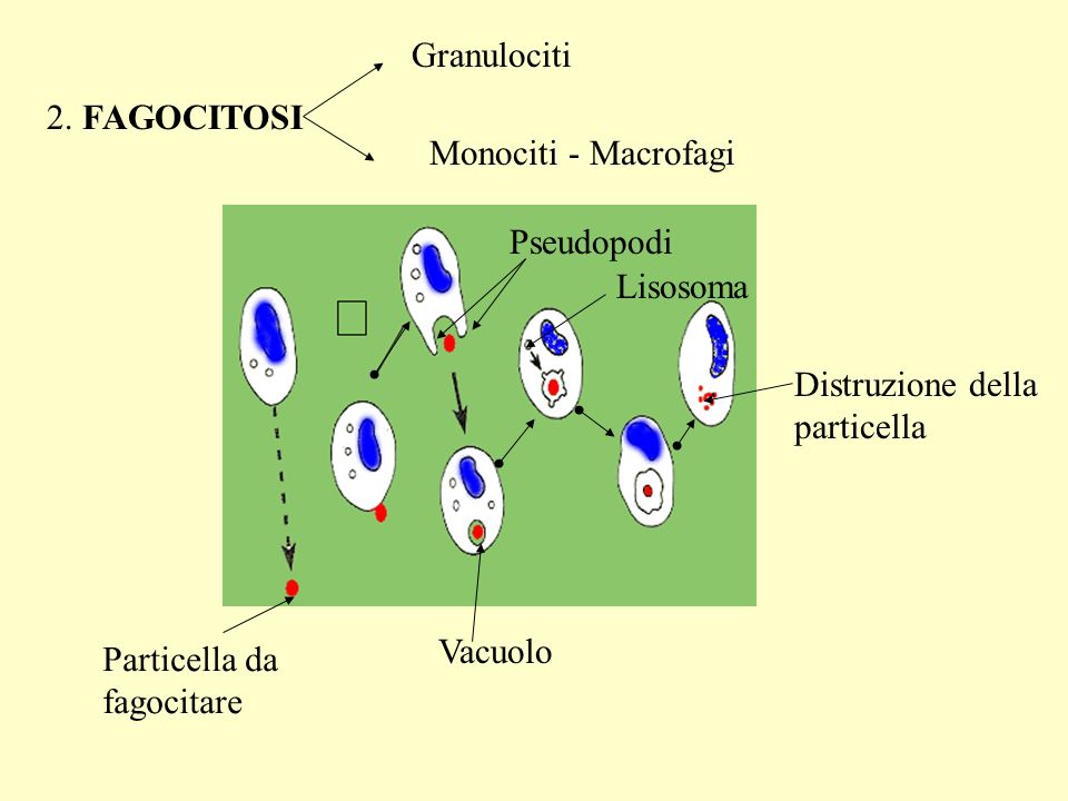 2. FAGOCITOSI Granulociti Monociti - Macrofagi Pseudopodi Particella da fagocitare Vacuolo Lisosoma Distruzione della particella