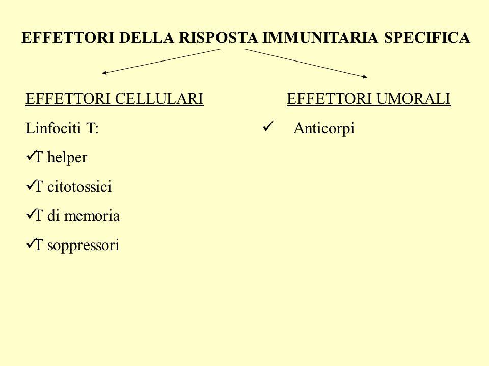 EFFETTORI DELLA RISPOSTA IMMUNITARIA SPECIFICA EFFETTORI CELLULARI Linfociti T: T helper T citotossici T di memoria T soppressori EFFETTORI UMORALI Anticorpi