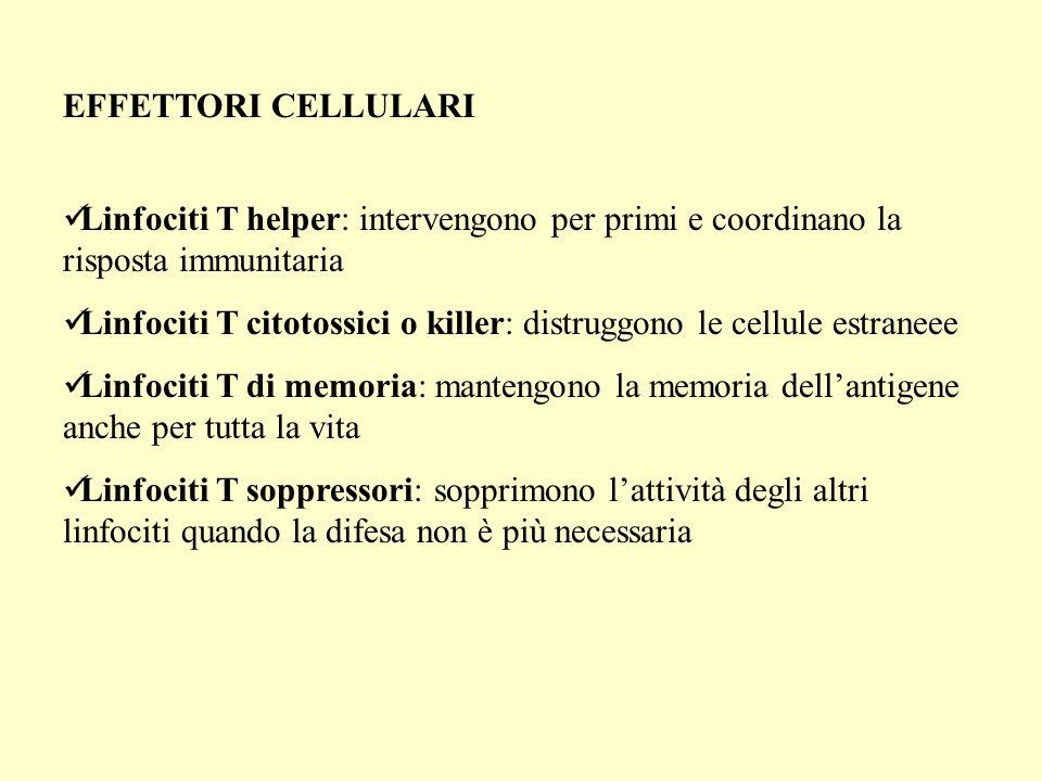 Linfociti T helper: intervengono per primi e coordinano la risposta immunitaria Linfociti T citotossici o killer: distruggono le cellule estraneee Linfociti T di memoria: mantengono la memoria dellantigene anche per tutta la vita Linfociti T soppressori: sopprimono lattività degli altri linfociti quando la difesa non è più necessaria EFFETTORI CELLULARI