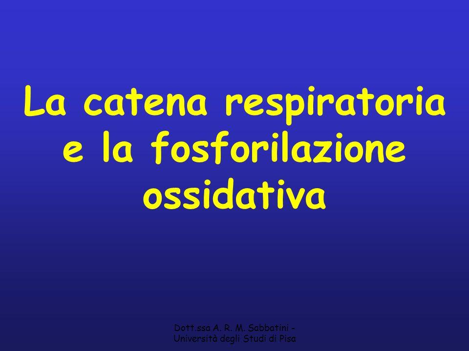 Dott.ssa A. R. M. Sabbatini - Università degli Studi di Pisa La catena respiratoria e la fosforilazione ossidativa