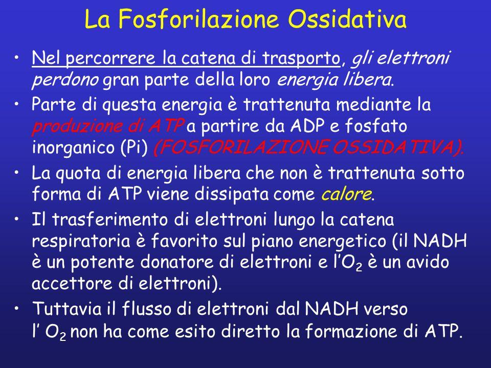 La Fosforilazione Ossidativa Nel percorrere la catena di trasporto, gli elettroni perdono gran parte della loro energia libera. Parte di questa energi