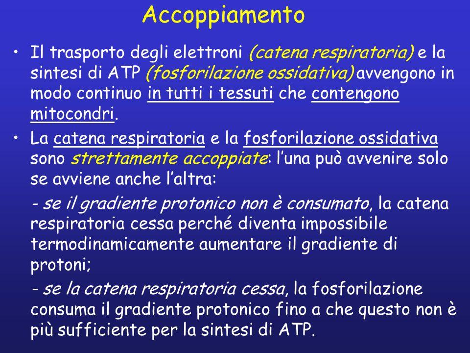 Accoppiamento Il trasporto degli elettroni (catena respiratoria) e la sintesi di ATP (fosforilazione ossidativa) avvengono in modo continuo in tutti i