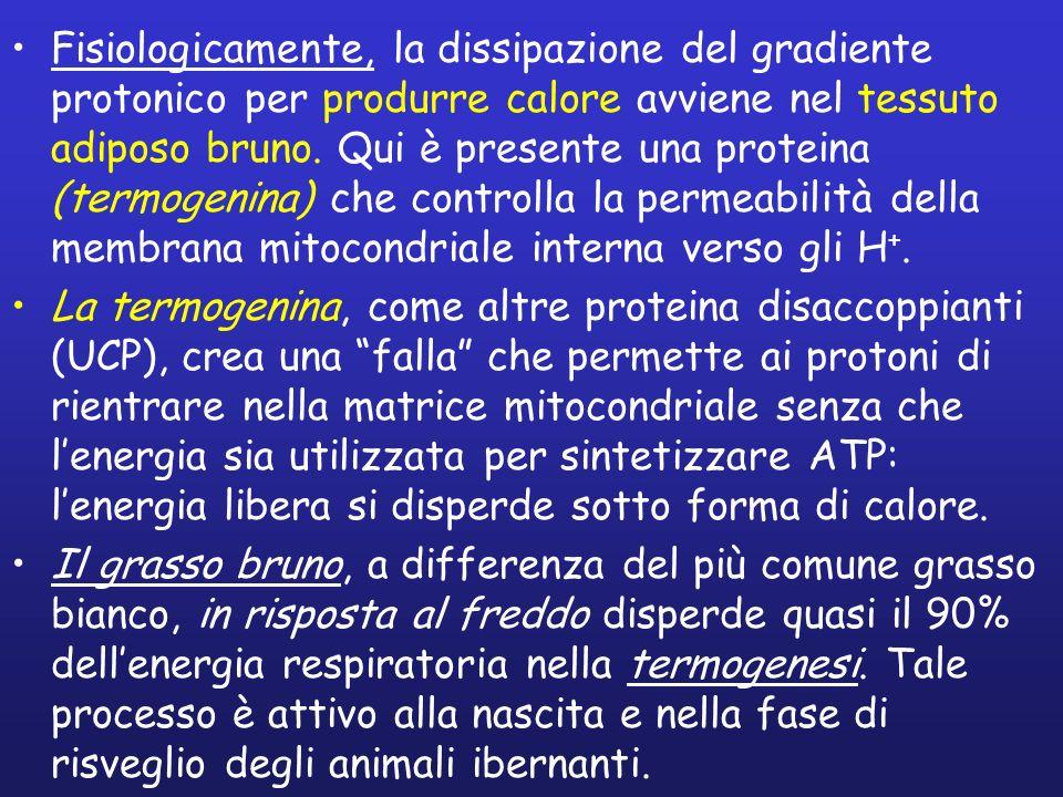 Fisiologicamente, la dissipazione del gradiente protonico per produrre calore avviene nel tessuto adiposo bruno.