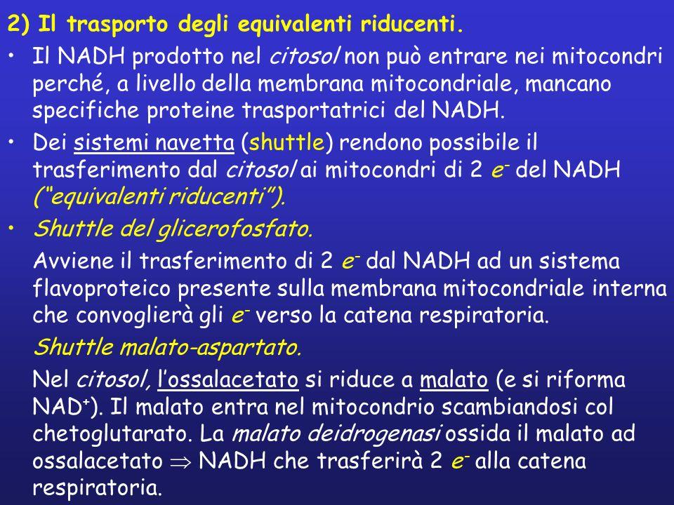 2) Il trasporto degli equivalenti riducenti. Il NADH prodotto nel citosol non può entrare nei mitocondri perché, a livello della membrana mitocondrial