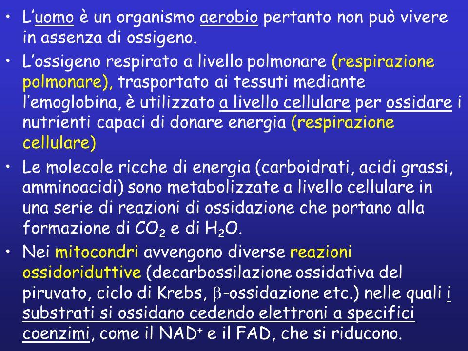 Luomo è un organismo aerobio pertanto non può vivere in assenza di ossigeno. Lossigeno respirato a livello polmonare (respirazione polmonare), traspor