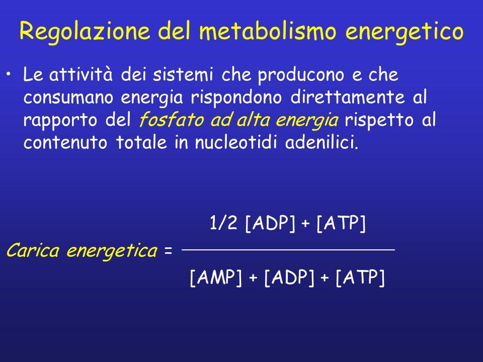 Regolazione del metabolismo energetico Le attività dei sistemi che producono e che consumano energia rispondono direttamente al rapporto del fosfato ad alta energia rispetto al contenuto totale in nucleotidi adenilici.