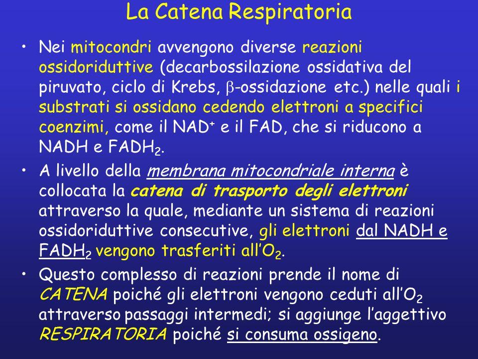 La Catena Respiratoria Nei mitocondri avvengono diverse reazioni ossidoriduttive (decarbossilazione ossidativa del piruvato, ciclo di Krebs, -ossidazione etc.) nelle quali i substrati si ossidano cedendo elettroni a specifici coenzimi, come il NAD + e il FAD, che si riducono a NADH e FADH 2.