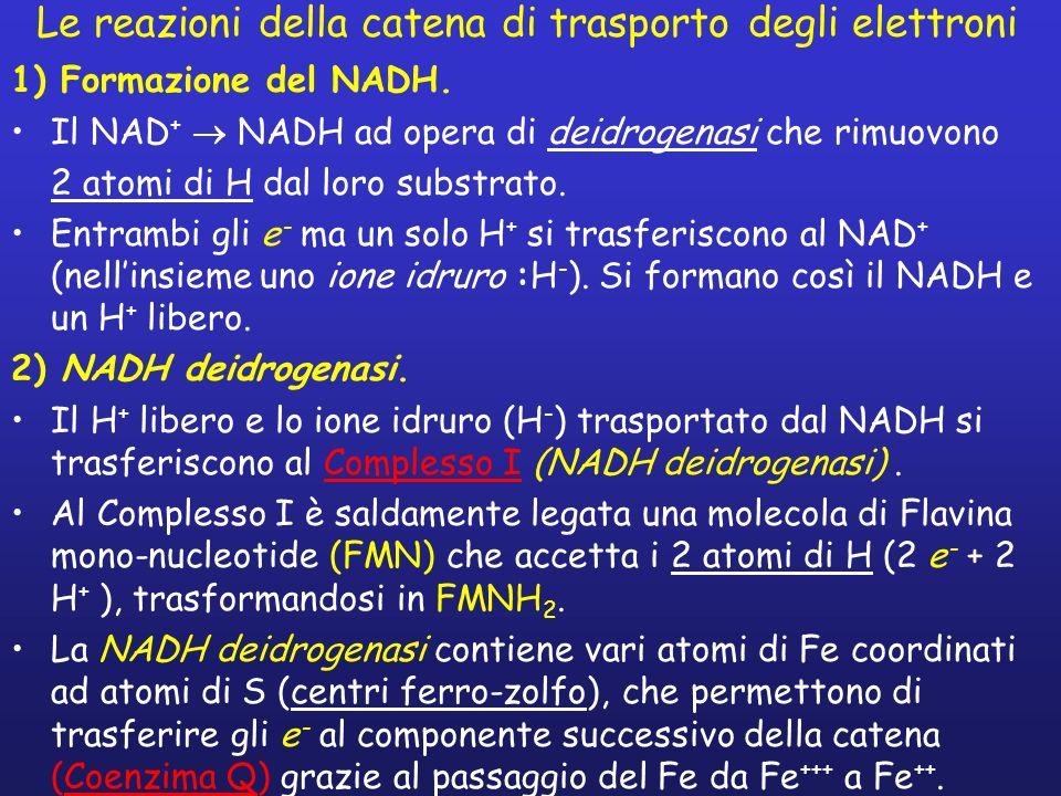 Le reazioni della catena di trasporto degli elettroni 1) Formazione del NADH. Il NAD + NADH ad opera di deidrogenasi che rimuovono 2 atomi di H dal lo
