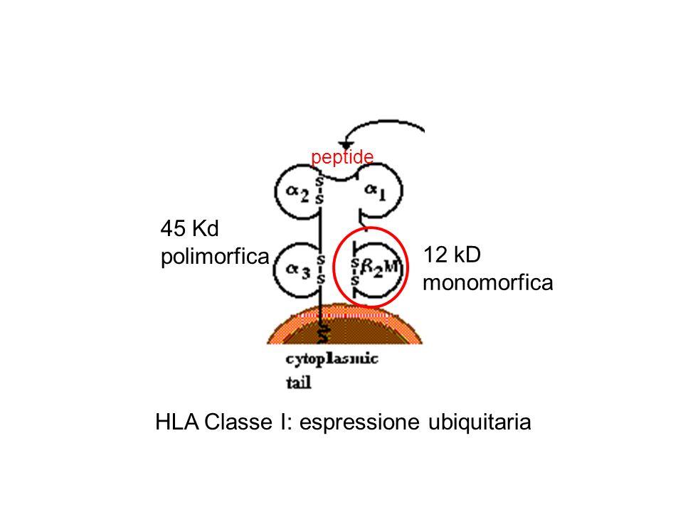 peptide HLA Classe I: espressione ubiquitaria 45 Kd polimorfica 12 kD monomorfica