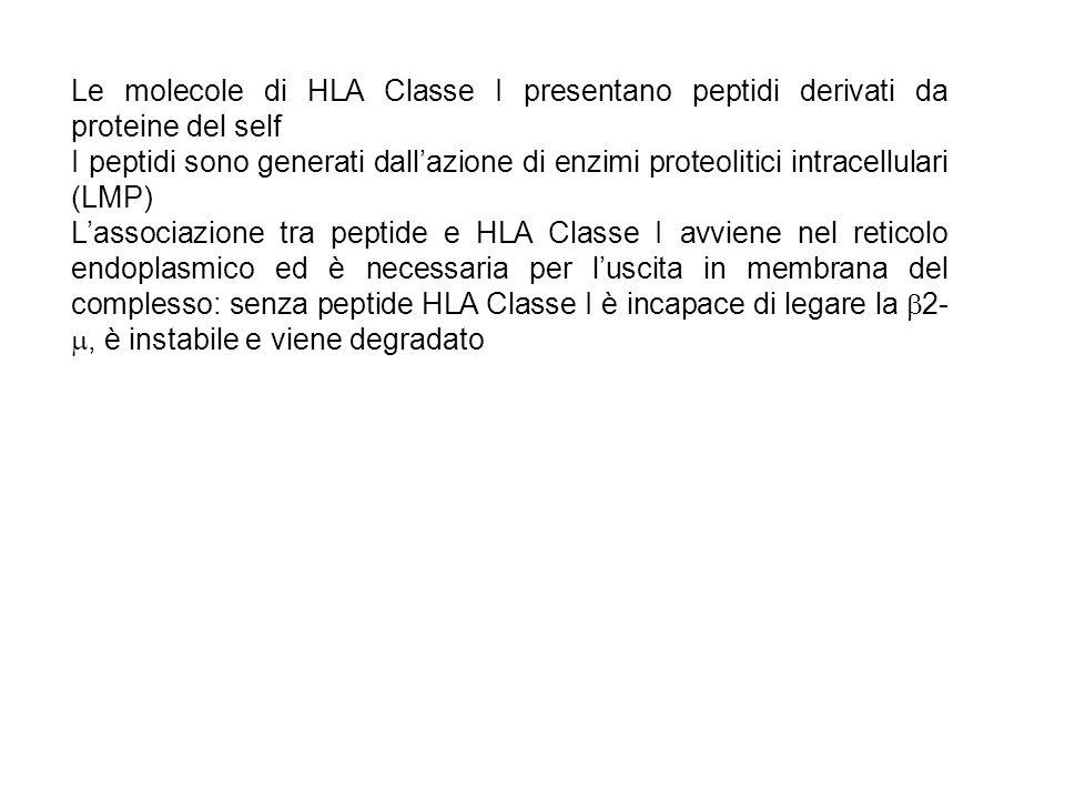 Le molecole di HLA Classe I presentano peptidi derivati da proteine del self I peptidi sono generati dallazione di enzimi proteolitici intracellulari
