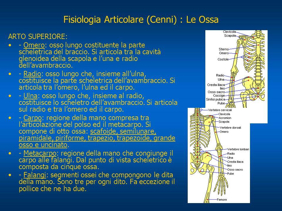 ARTO SUPERIORE: - Omero: osso lungo costituente la parte scheletrica del braccio. Si articola tra la cavità glenoidea della scapola e luna e radio del