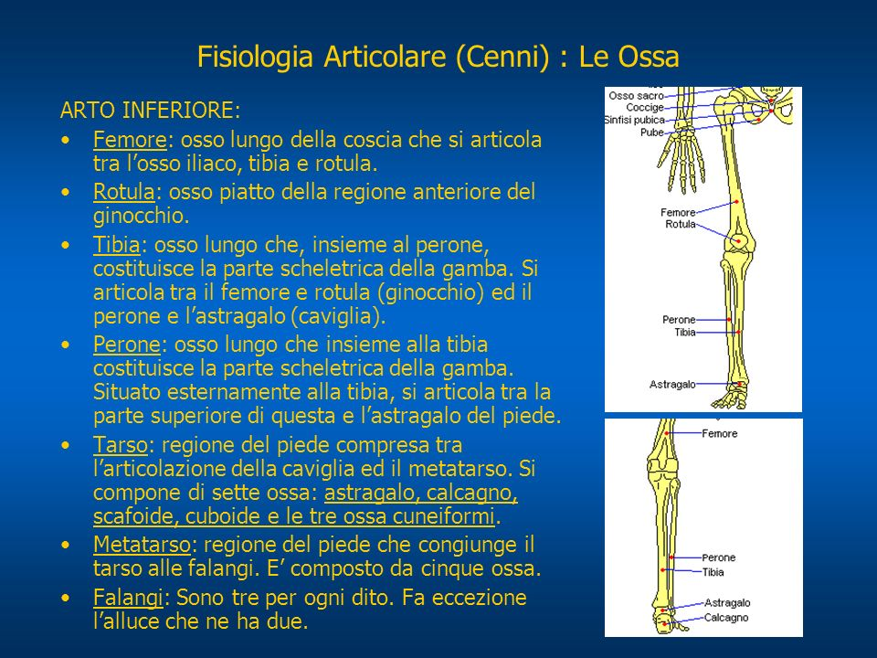 Fisiologia Articolare (Cenni) : Le Articolazioni Le articolazioni costituiscono il sistema di connessione tra due o più segmenti ossei.
