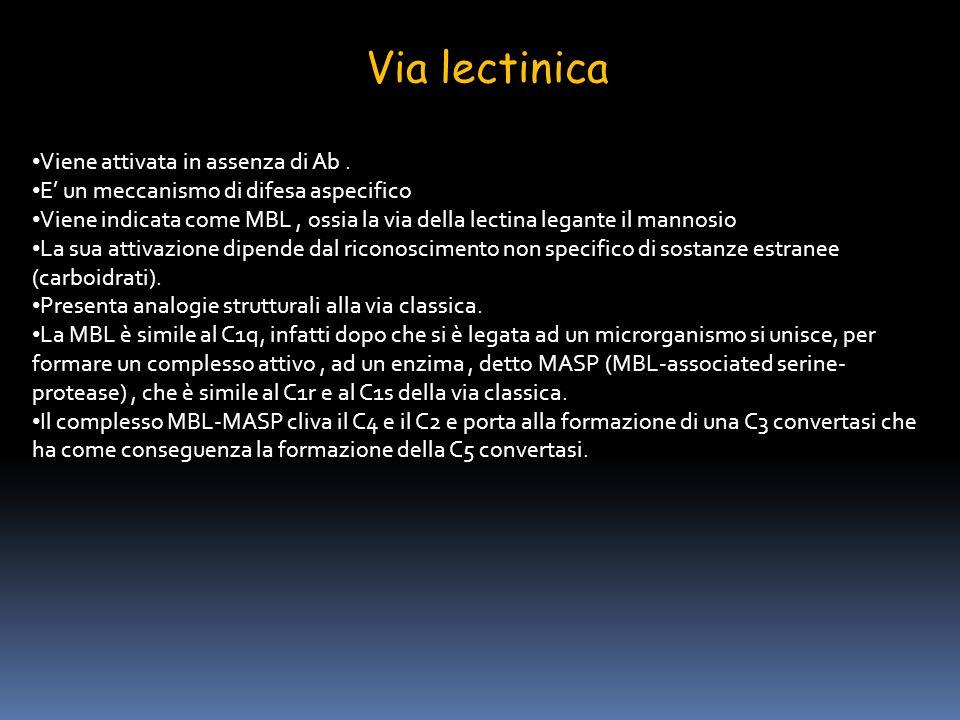 Via lectinica Viene attivata in assenza di Ab. E un meccanismo di difesa aspecifico Viene indicata come MBL, ossia la via della lectina legante il man